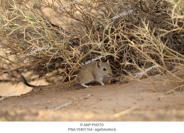 Indian desert jird, Indian Desert Gerbille Meriones hurrianae - Morocco, Africa