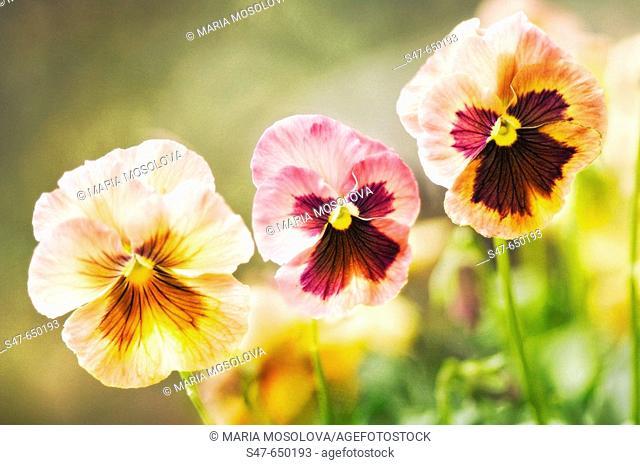 Pansy Flower Trio. Viola x wittrockiana. April 2007. Maryland, USA