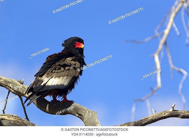 Bateleur (Terathopius ecaudatus) - Young, Kgalagadi Transfrontier Park, Kalahari desert, South Africa/Botswana
