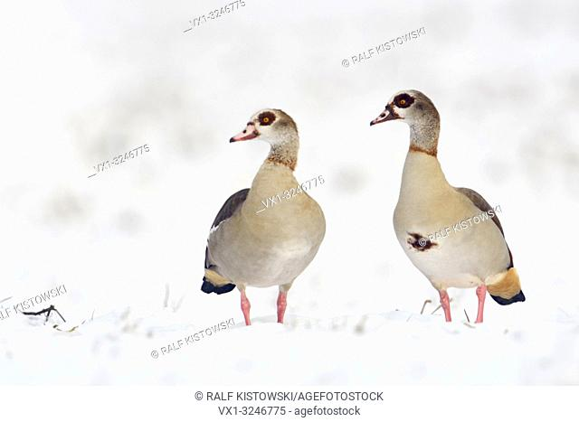 Egyptian Geese / Nilgaense (Alopochen aegyptiacus) pair, couple in winter, standing next to each other in fresh fallen snow, watching, wildlife, Europe