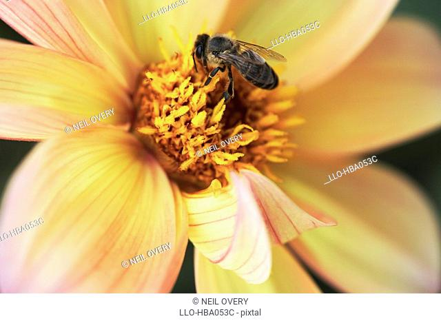 Close-up of a Honey Bee Apis mellifera Collecting Pollen From a Dahlia Pinnata Flower  Grahamstown, Eastern Cape Province, South Africa