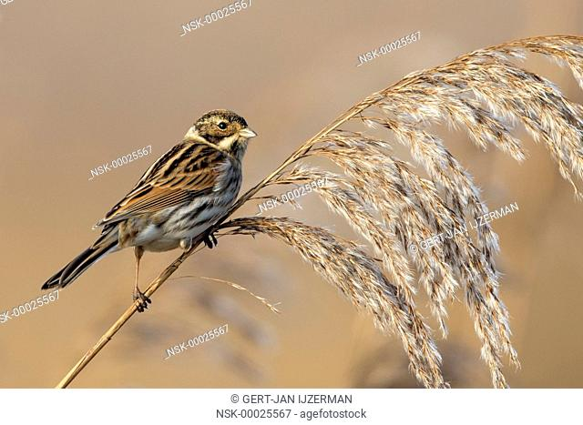 common reed bunting (Emberiza schoeniclus) perched on a reedstem, looking at camera, The Netherlands, Flevoland, Roggebot