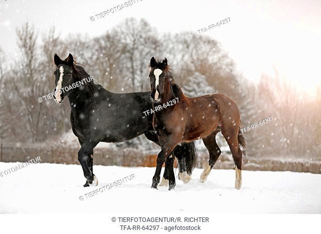 horses in snow flurries