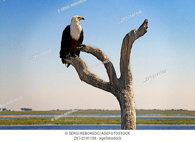 Botswana, Chobe National Park, African Fish Eagle (Haliaetos) perching on dead tree