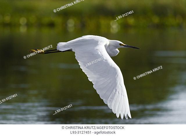 Snowy Egret (Egretta thula) flying in the Pantanal, Brazil