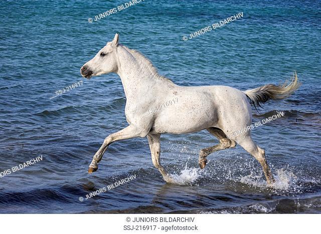 Arabian Horse. Gray stallion trotting in shallow water. Tunisia