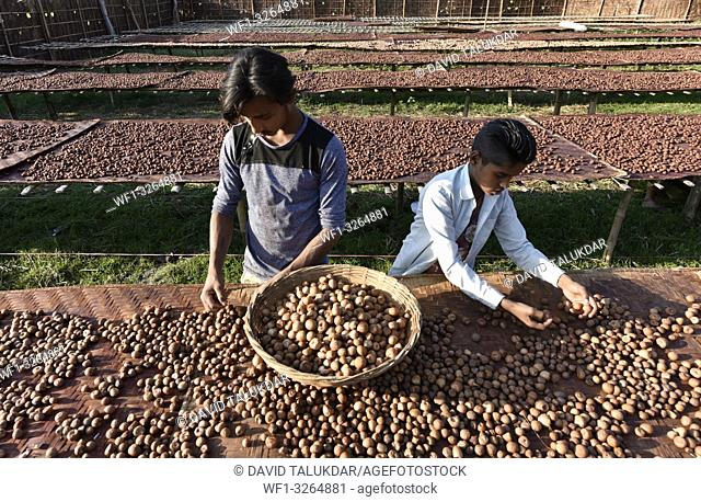 Howly, Assam, India. Man sorts dried areca nuts, also known as betel nuts or supari, at Howly in Barpeta district of Assam
