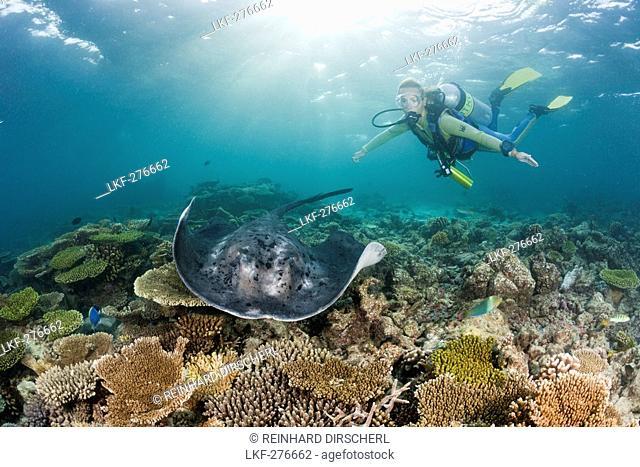 Blackspotted Stingray and Diver, Taeniura meyeni, Maldives, Ellaidhoo House Reef, North Ari Atoll