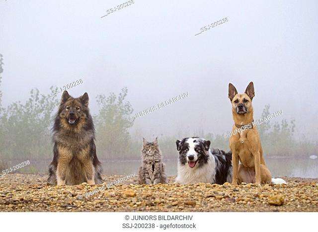 American Longhair, Maine Coon. Eurasian, kitten, mixed-breed dog and Australian Shepherd next to each other on a river bank. Germany