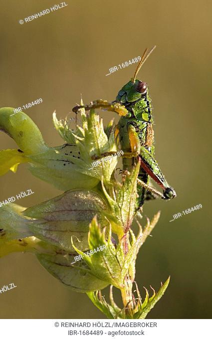 Alpine Grasshopper (Miramella alpina), Nationalpark Nockberge National Park, Carinthia, Austria, Europe