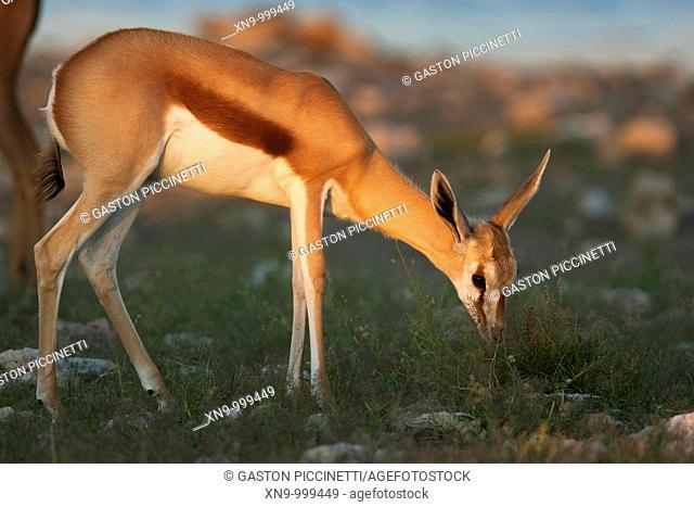 Springbok Antidorcas marsupialis - Young, eating, Etosha National Park, Namibia, Africa