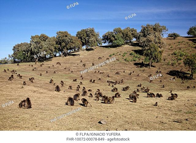 Gelada Theropithecus gelada adult males, females and young, troop grooming and grazing on grassy hill, Simien Mountains, Ethiopia
