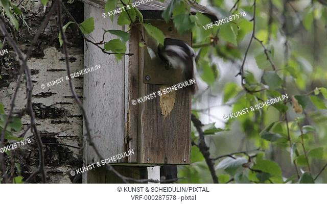 A pair of European pied flycatchers (Ficedula hypoleuca) are bringing food to their begging chicks in a nesting box. Noraström, Västernorrlands Län, Sweden