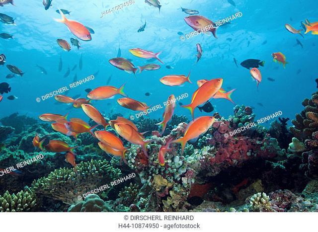 Juwelen-Fahnenbarsche, Pseudanthias squamipinnis, Nord Ari Atoll, Malediven, Lyretail Anthias, Pseudanthias squamipinnis, North Ari Atoll, Maldives