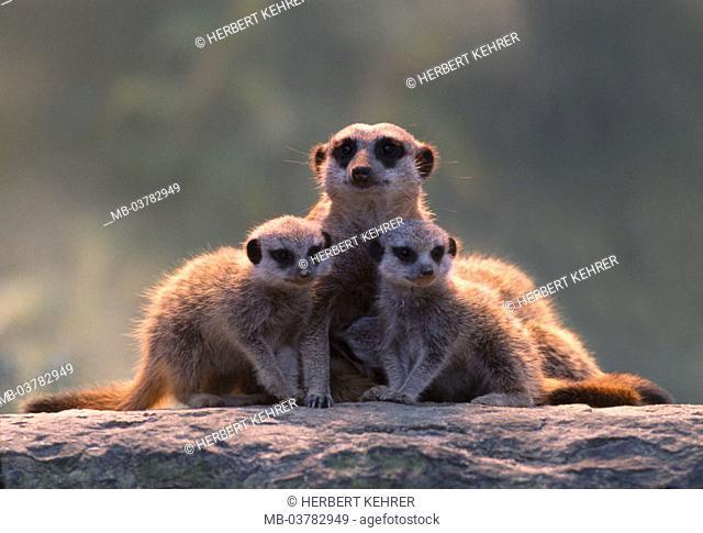Erdmännchen, Suricata suricatta,  Dam, young, dense,  side by side, group picture Nature, fauna, Wildlife, wild animals, animals, mammals, country mammals