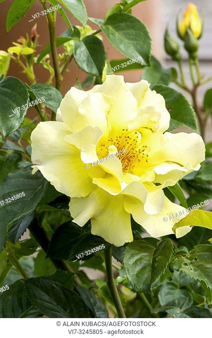 Rosa 'Lichtkönigin Lucia' Obtenteur : Kordes (ALL)) 1966