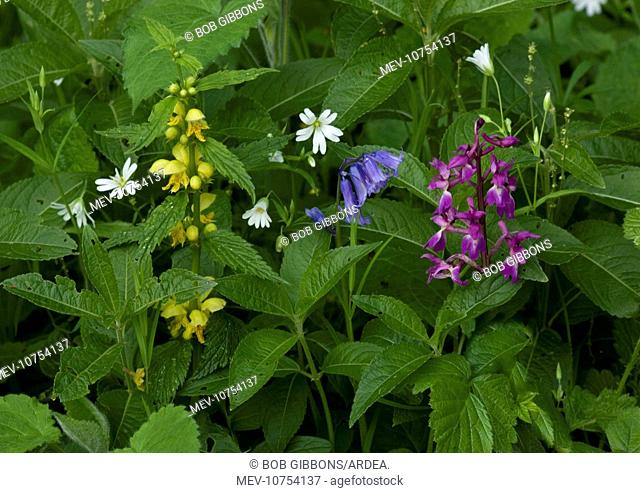 Woodland flowers in spring - Greater Stitchwort (Stellaria holostea), yellow archangel (Lamiastrum galeobdolon), bluebell (Hyacinthoides non-scriptus) and early...