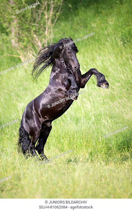Friesian Horse. Black stallion rearing on a meadow. Austria
