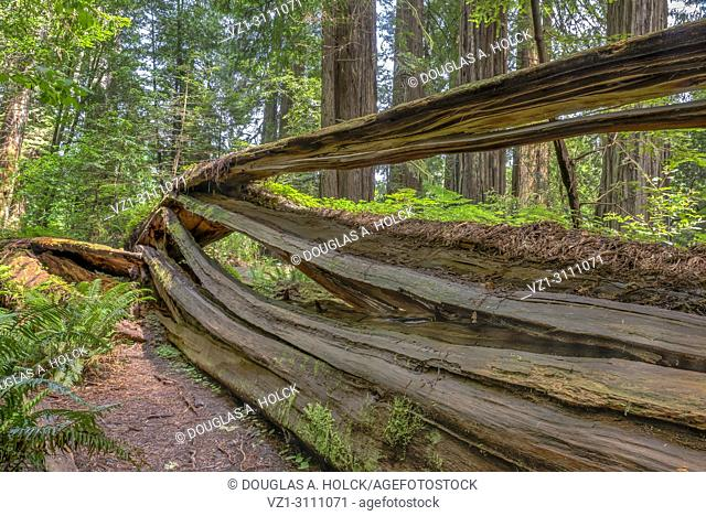 Giant Sequoia sempervirens redwood lies in layers on the floor of Stout Memorial Grove in Jedediah Smith Redwoods State Park, Northern California, USA