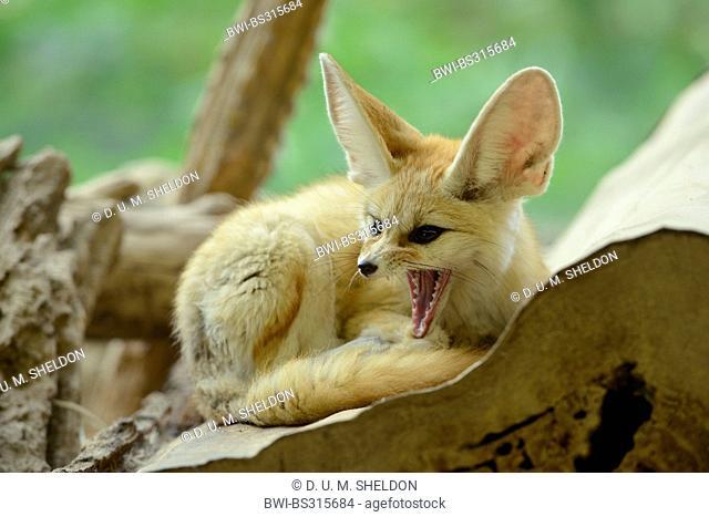 fennec fox (Fennecus zerda, Vulpes zerda), yawning
