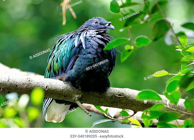 Nicobar pigeon Nicobar dove Caloenas nicobarica