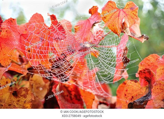 spider web in red leaves, Lauzun, Lot-et-Garonne Department, Aquitaine, France