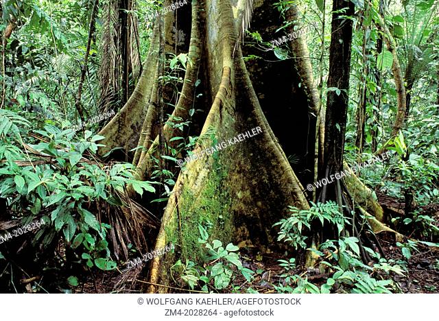 ECUADOR, AMAZON BASIN, RIO NAPO, RAINFOREST, CEIBA TREE AND PALM TREE, ROOTS
