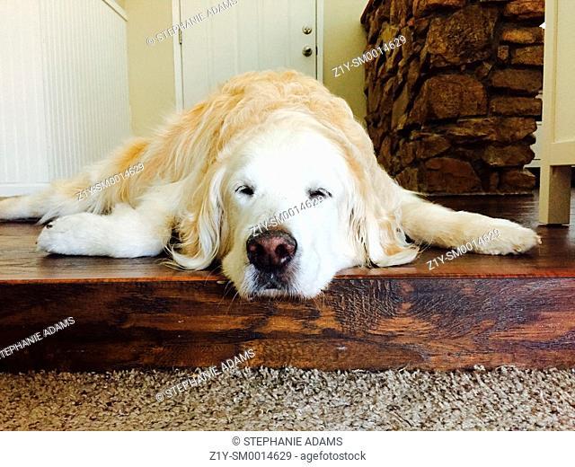 Sleeping Golden Retriever