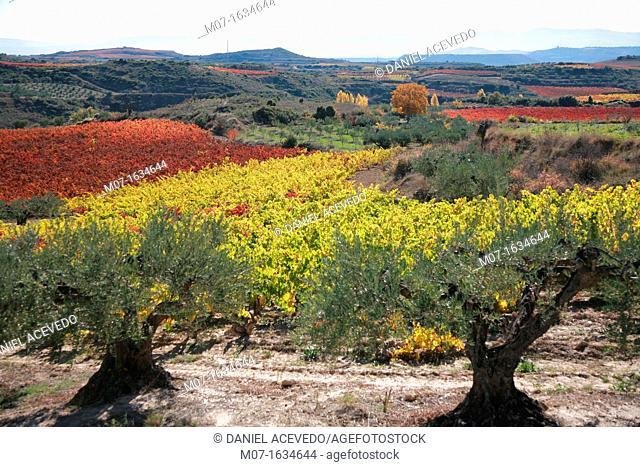Olive and vines, Rioja Alavesa, Spain