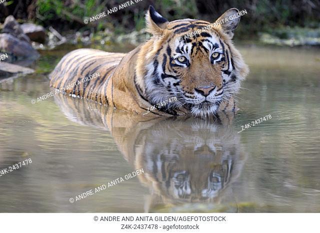 Bengal Tiger (Panthera tigris tigris) relaxing in water to cool down, Ranthambhore national park, Rajastan, India