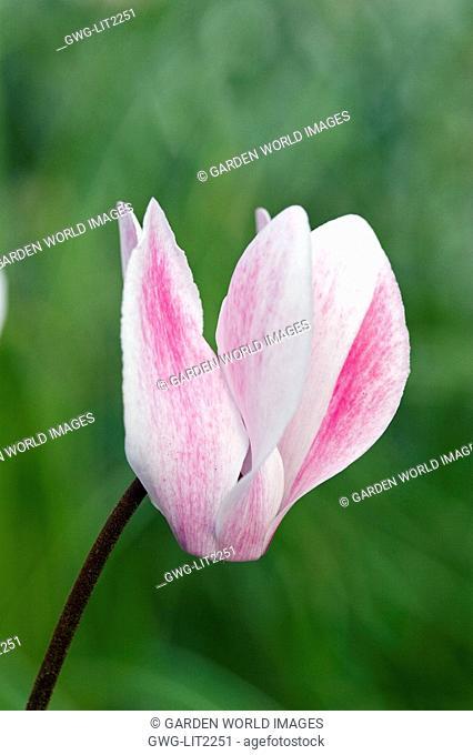 MINIATURE CYCLAMEN FLOWER UNFURLING