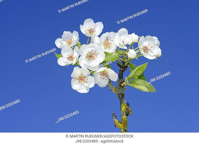 Pear Tree (Pyrus communis) brach with blossoms against clear blue sky. Bavaria, Germany, Europe