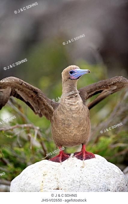 Red Footed Booby,Sula sula,Galapagos Islands,Ecuador,adult,on rock,spreading wings