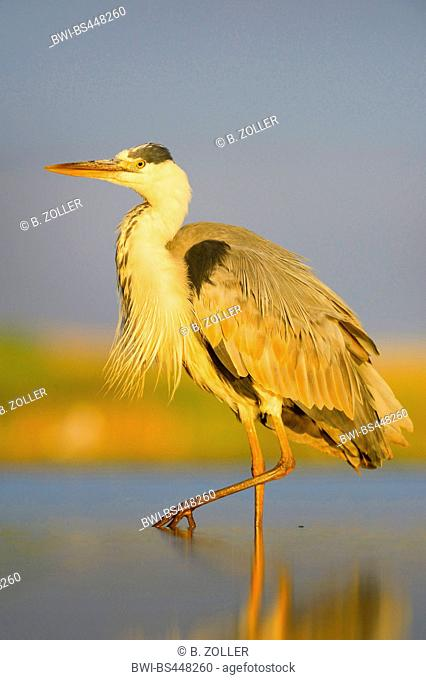 grey heron (Ardea cinerea), standing on one leg in shallow water in evening light, side view, Hungary, Kiskunsag National Park