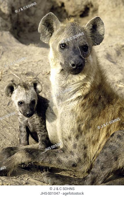 Spotted Hyaena Crocuta crocuta Sabi Sand Game Reserve Kruger Nationalpark South Africa Africa