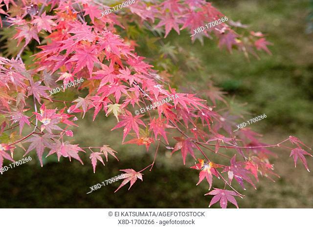 Japanese maple Acer palmatum during autumn at Daitokuji Temple, Kyoto, Kansai Region, Japan