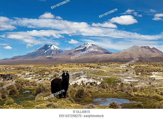 Photograph of one lama looking at the camera in Sajama National Park, Bolivia