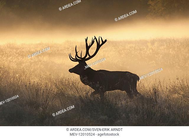 Red Deer - stag in morning mist - Denmark