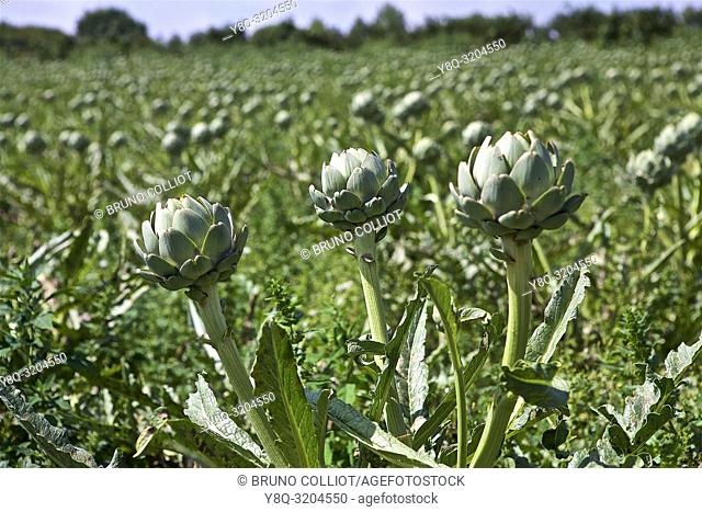 artichoke fields between lezardrieux and perros-guirec, cote d'armor, brittany, france