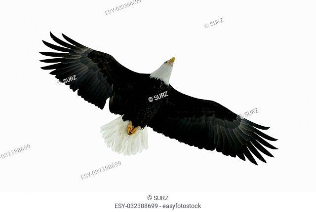 American Bald Eagle (Haliaeetus leucocephalus) in Flight on isolated on white background
