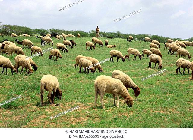 Shepherd with sheep, Kutch, Gujarat, India, Asia