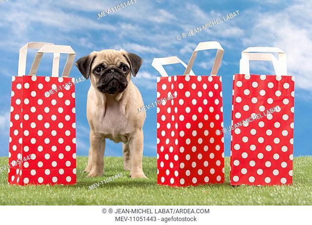 Dog Pug Puppy