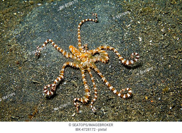Wonderpus octopus (Wunderpus photogenicus) at sea bottom, Halmahera, Indonesia
