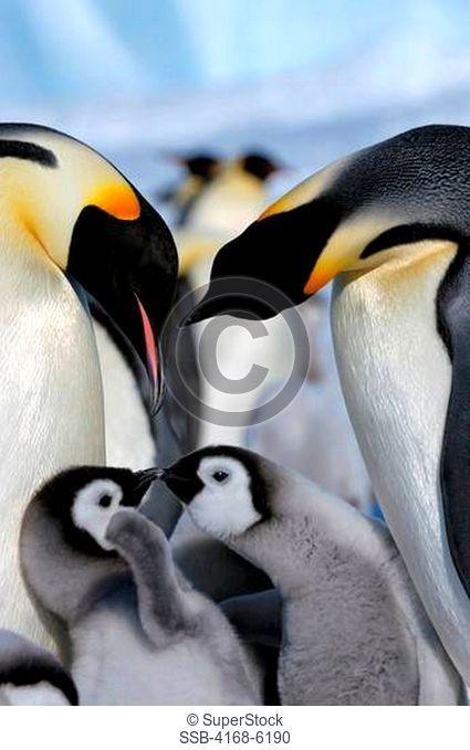 ANTARCTICA, WEDDELL SEA, SNOW HILL ISLAND, EMPEROR PENGUIN COLONY Aptenodytes forsteri, ADULTS WITH CHICKS