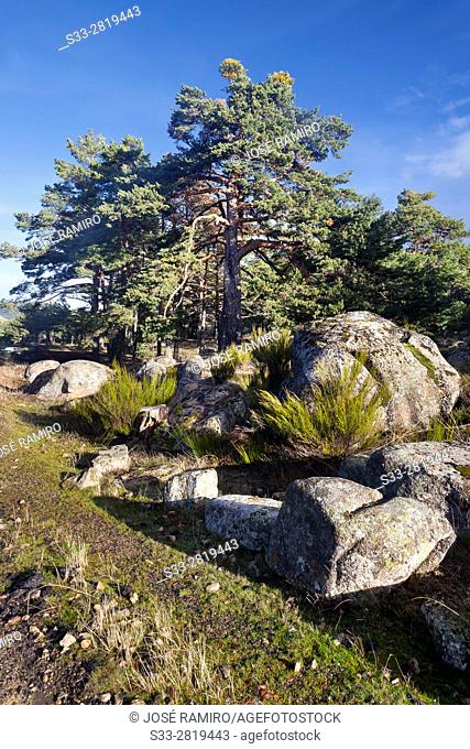 Pines in the Sierra de Malagon. Peguerinos. Avila. Castilla Leon. Spain. Europe