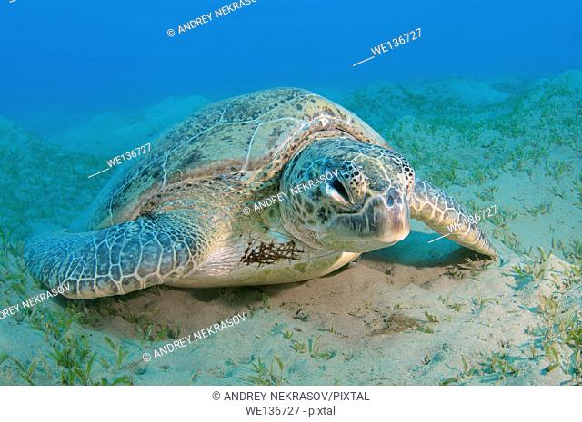 old green sea turtle (Chelonia mydas) sleeping on the sandy bottom, Red sea, Marsa Alam, Abu Dabab, Egypt