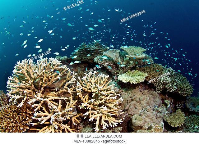 Hard Corals and Blue-green Chromis - (Acropora loripes) (Acropora forbesi). Asha Thila - Meemu - Maldives