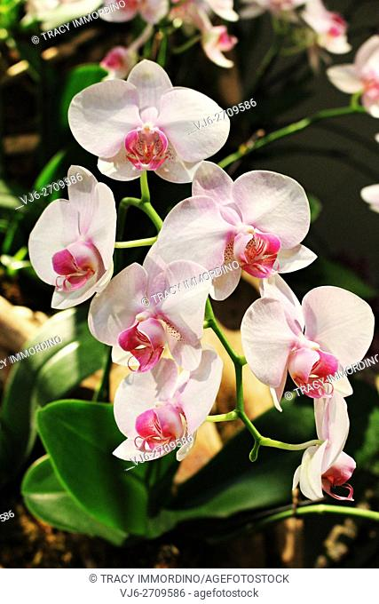 Close up of a ligh pink Phalaenopsis Orchid in full bloom