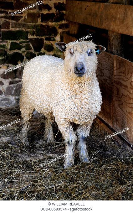 England, Devon, one Wensleydale Sheep in a barn