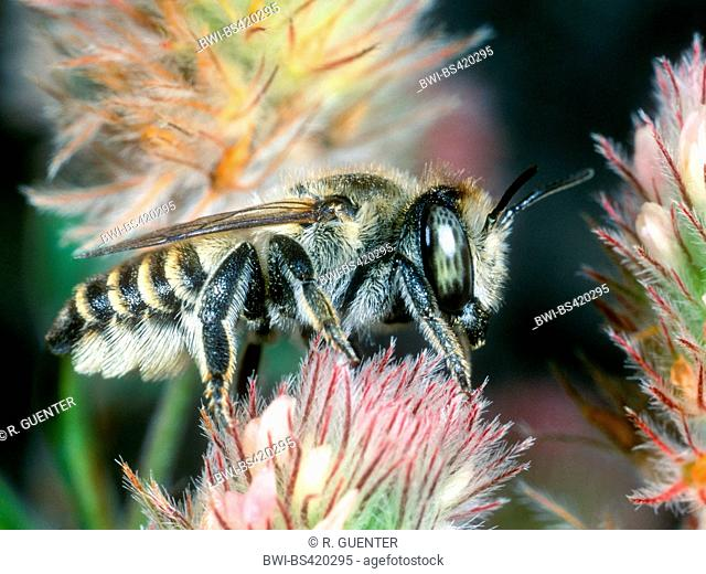 Silver Leaf-cutter Bee (Megachile leachella), Female foraging on Haresfoot Clover (Trifolium arvense), Germany